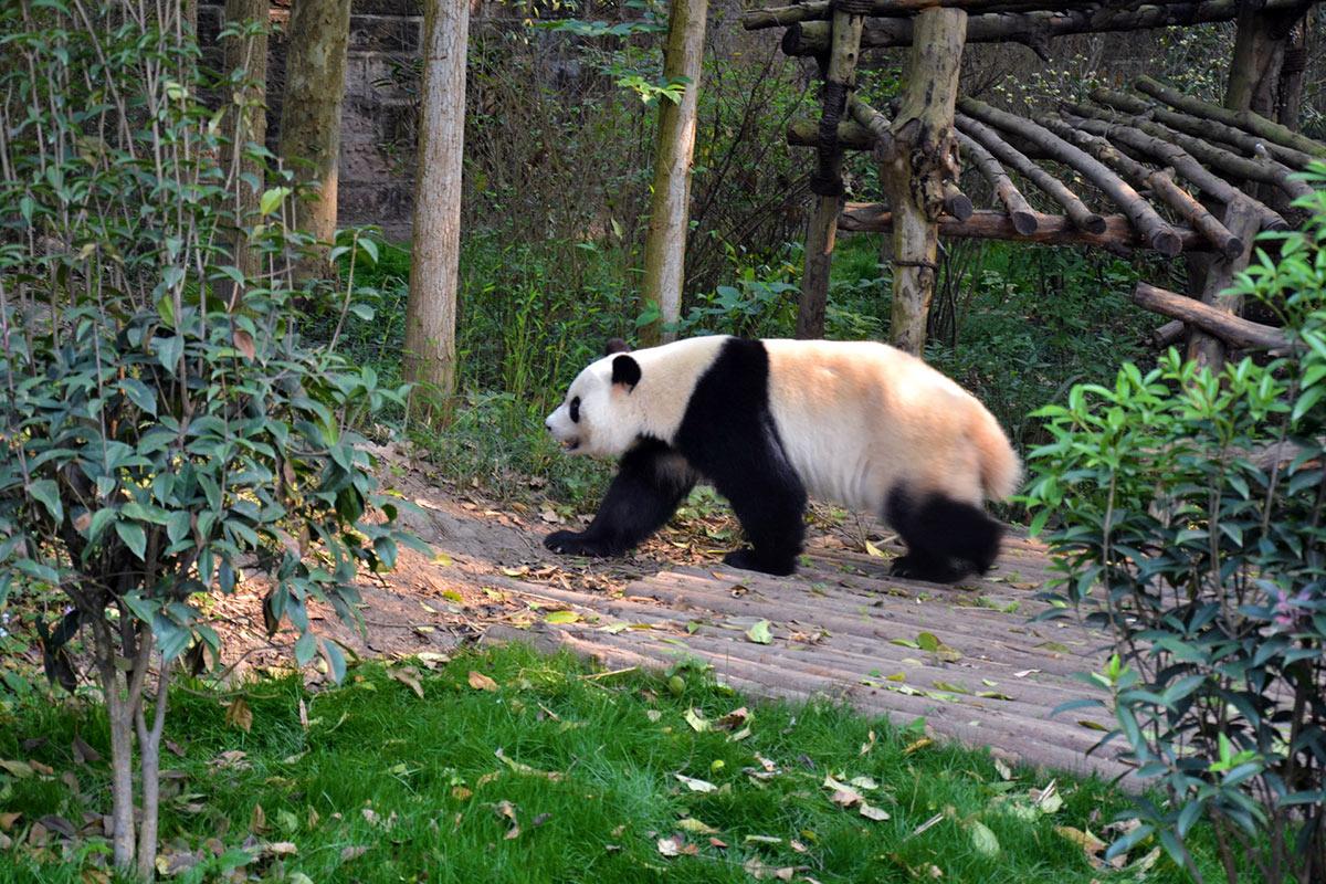 China Chengdu Panda