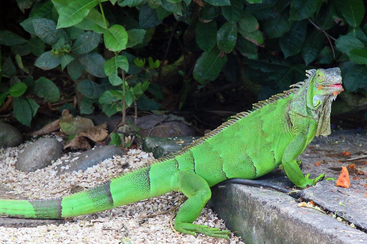 Costa Rica Tamarindo Iguana