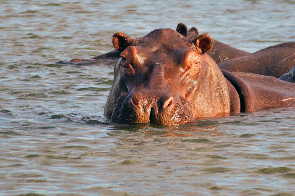 Namibia Hippo Okavango River