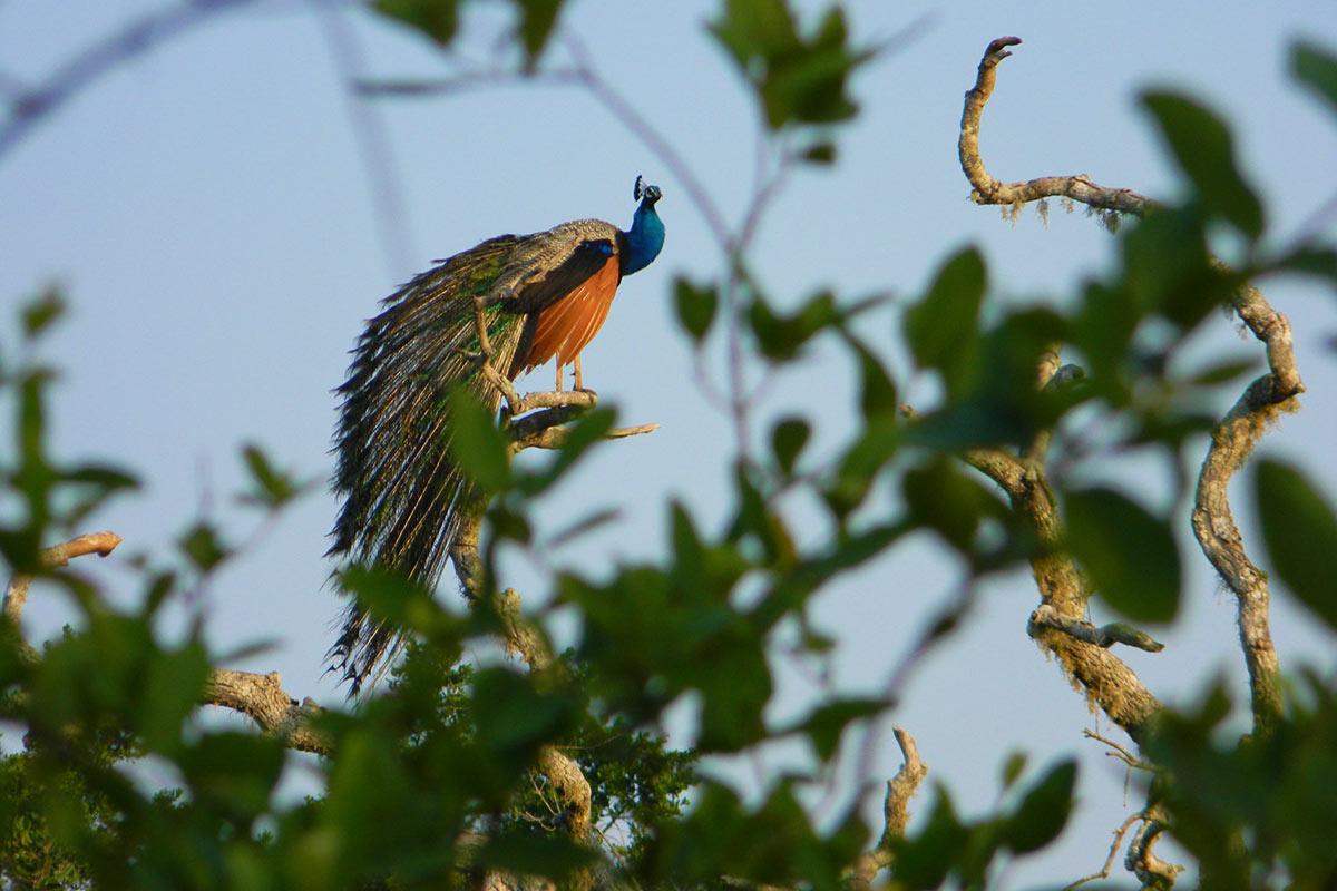 Sri Lanka Yala National Park