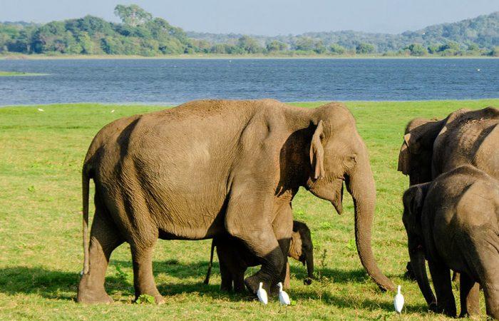 Sri Lanka Wildlife Elephant Banner